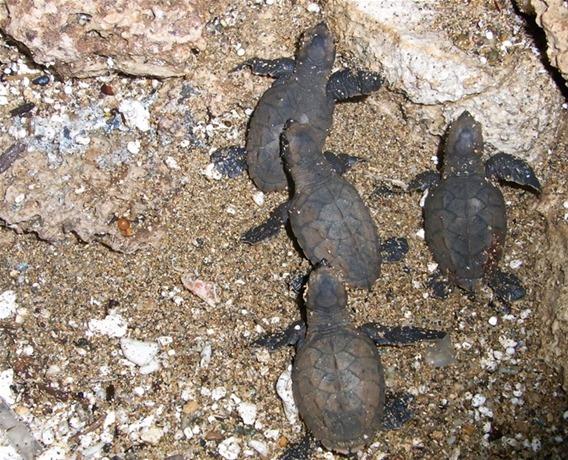 Nacen más tortugas carey y tinglar en el Distrito Nacional y La Altagracia