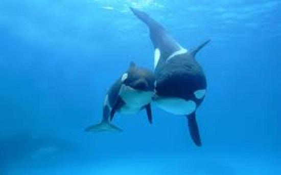 Por primera vez un vídeo muestra orcas en Bayahibe.