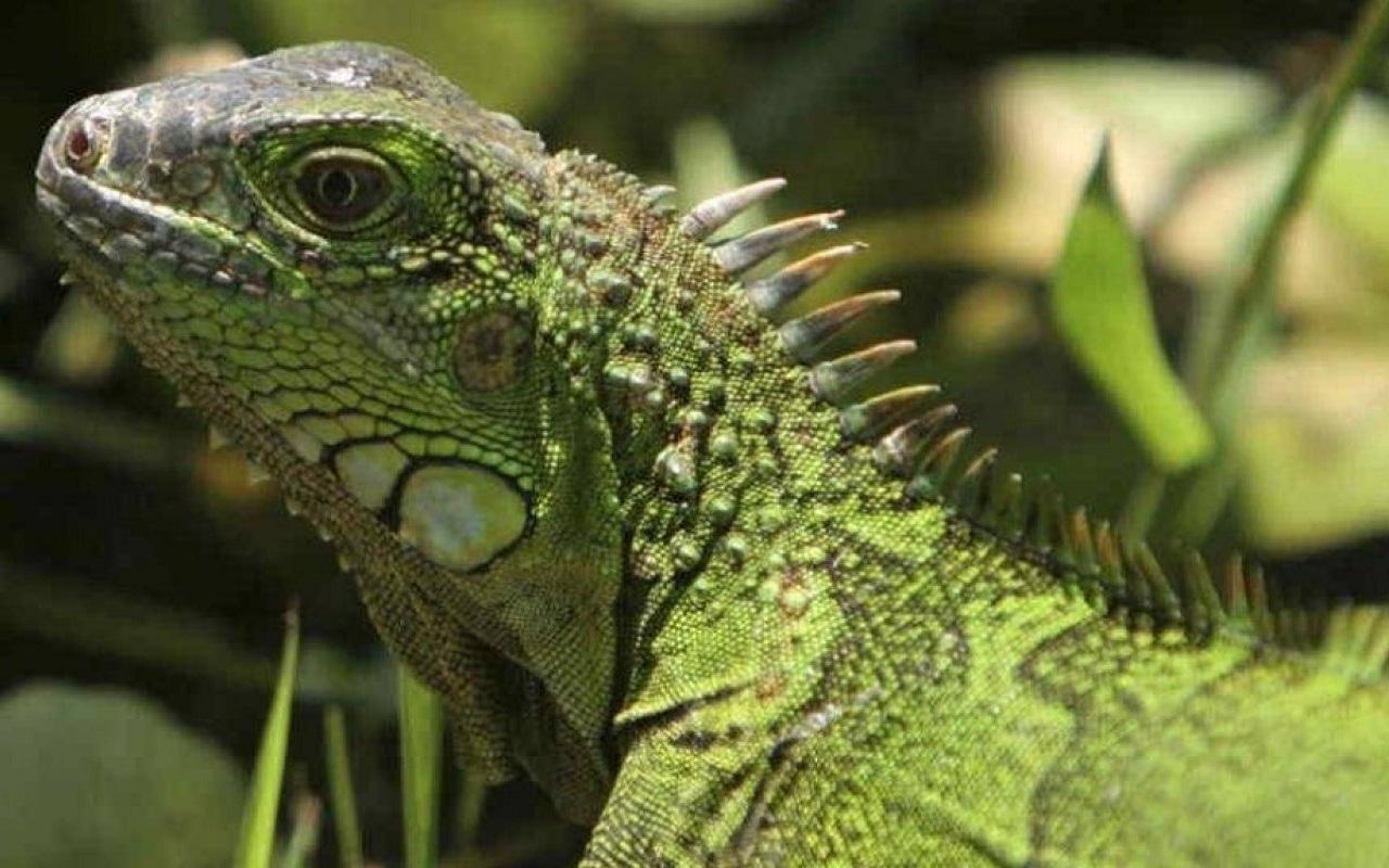 Ministerio de Medio Ambiente Advierte sobre peligros de la iguana verde: no es una mascota.