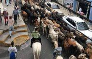 Toros caminan hacia la virgen de la Altagracia